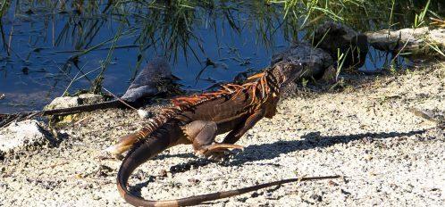 Marco Island Lakeside Inn exterior lake beach iguana running