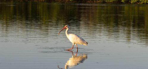 Marco Island egret in water